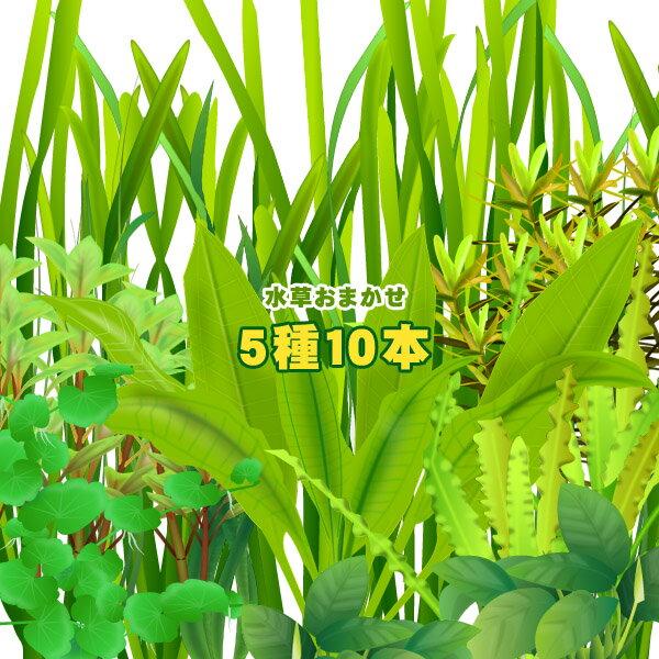(水草)<br>水草おまかせ5種 10本セット<br><br>【水槽/熱帯魚/観賞魚/飼育】【生体】【通販/販売】【アクアリウム】<br>