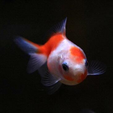 (金魚 生体)ピンポンパール(約2-3cm)(4匹) かわいい形が特徴【水槽/熱帯魚/観賞魚/飼育】【生体】【通販/販売】【アクアリウム/あくありうむ】