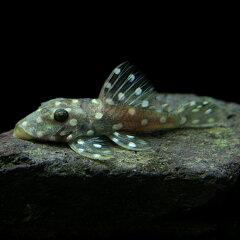 熱帯魚 ブラックウィズホワイトカイザープレコ [15cm-][Y2000-]▼熱帯魚  ブラックウィズホ...
