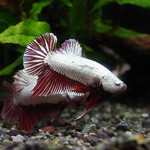(熱帯魚生体)ベタレッド・ドラゴン(1ペア) 水槽/熱帯魚/観賞魚/飼育  生体  通販/販売  アクアリウム/あくありうむ