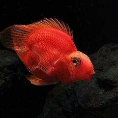(熱帯魚)ハートパープルパロットファイヤー(約6cm)<1匹>【水槽/熱帯魚/観賞魚/飼育】【…