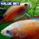 (熱帯魚 生体)【バリューセット】ゴールデンハニードワーフグラミー(約2-3cm)(3匹) + レッ ...