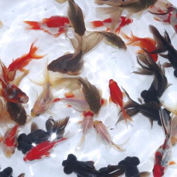 (ネオスセ—ル)(金魚 生体)国産 ミックス金魚(約3-5cm)<5匹> オタマ金魚ミックス【水槽/熱帯魚/観賞魚/飼育】【生体】【通販/販売】【アクアリウム/あくありうむ】