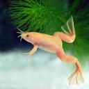 (両生類)アルビノアフリカツメガエル(約3-4cm)(3匹)【水槽/熱帯魚/観賞魚/飼育】【生体】【通販/販売】【アクアリウム/あくありうむ】