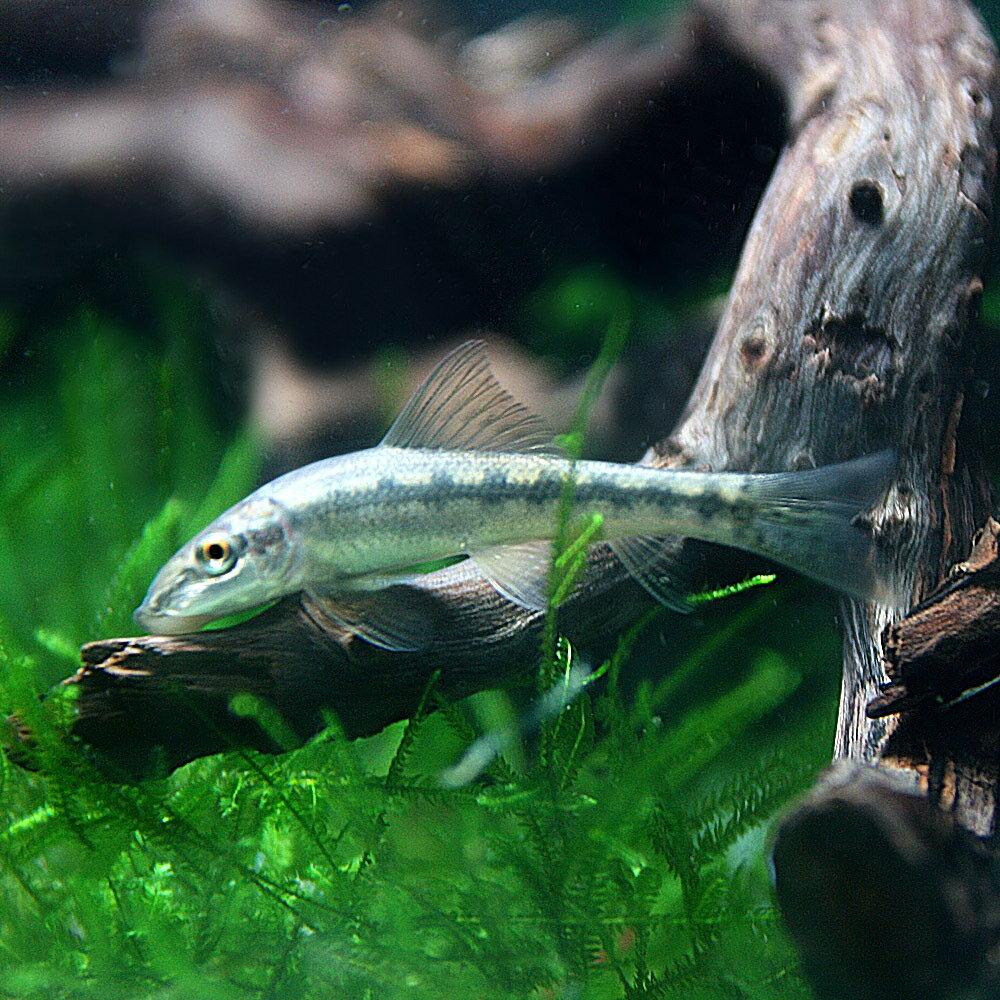 (熱帯魚)アルジイーター(約4cm)(100匹)【水槽/熱帯魚/観賞魚/飼育】【生体】【通販/販売】【アクアリウム】