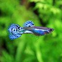 (熱帯魚 生体)( オススメ)ブルーグラスグッピー (国産) (約3cm)(1ペア)【水槽/熱帯魚/ ...