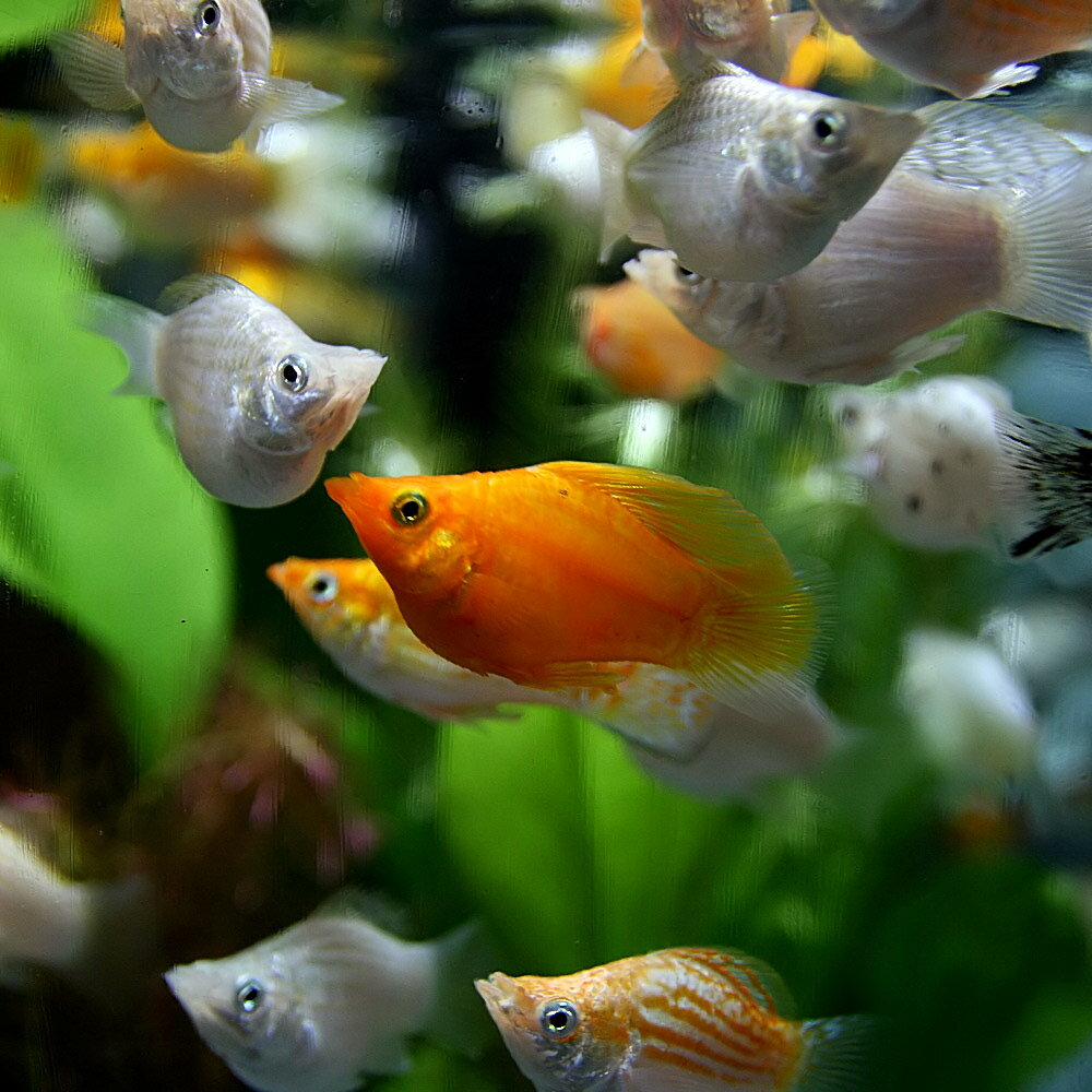 (熱帯魚)ミックスバルーンモーリー(約2-3cm)(50匹)【水槽/熱帯魚/観賞魚/飼育】【生体】【通販/販売】【アクアリウム】