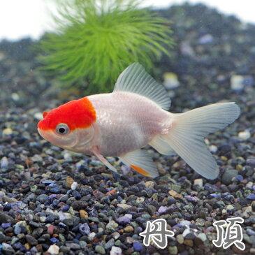 (金魚 生体)丹頂(約7-8cm)(3匹)【水槽/熱帯魚/観賞魚/飼育】【生体】【通販/販売】【アクアリウム/あくありうむ】