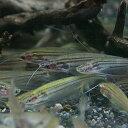 (熱帯魚 生体)マレーシアグラスキャット(クリプトプテルス・マクロセファルス)(約5cm)(1匹)【 ...