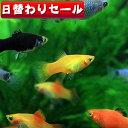 (熱帯魚 生体)( 日替わり限定)ミックスプラティ (雌雄指定、種類指定不可)<約3-3.5cm>( ...