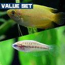 (熱帯魚 生体)【バリューセット】ピグミーグラミー(約2-3cm)(3匹)+ゴールデンハニードワーフ ...