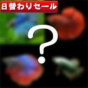 (熱帯魚 生体)( 日替わり限定)ワクワク ショー ベタ  種類おまかせ(約4-5cm)<1ペア>  ...