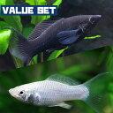 (熱帯魚 生体)【バリューセット】ブラックライヤーモーリー(約4cm)(3匹) + シルバーライヤー ...