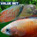 (熱帯魚 生体)【バリューセット】ドワーフグラミー(約5cm)(1ペア) + レッドグラミー(約3c ...