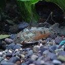 水槽 熱帯魚 ▼コリドラス パレアタス(約3cm)<3匹>【スプリングセール開催中!!4/4迄】