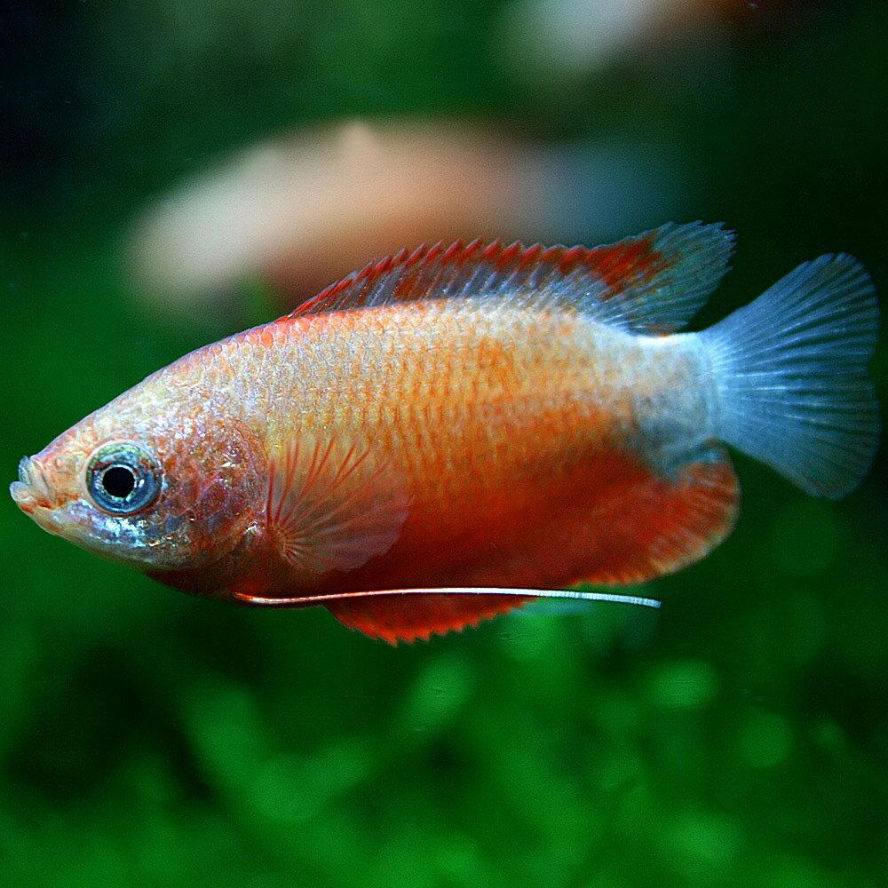 (熱帯魚)レッドグラミー(約3cm)(50匹)【水槽/熱帯魚/観賞魚/飼育】【生体】【通販/販売】【アクアリウム】