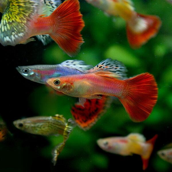 (熱帯魚生体)(オススメ)ミックスグッピー(外国産)(約3cm)(10ペア) 水槽/熱帯魚/観賞魚/飼育  生体  通販/販売