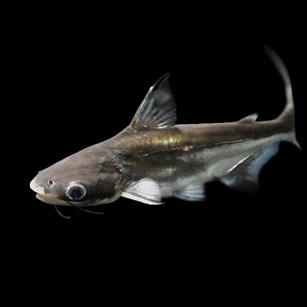 (熱帯魚)パールム(約4cm)(10匹)【水槽/熱帯魚/観賞魚/飼育】【生体】【通販/販売】【アクアリウム】