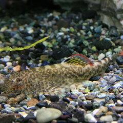 (熱帯魚)ホンコンプレコ(約3-4cm)<3匹> 【水槽/熱帯魚/観賞魚/飼育】【生体】【通販…