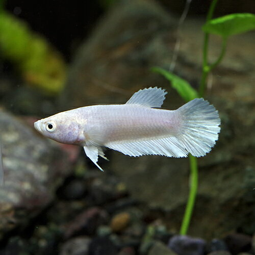 (熱帯魚生体)ベタプラガットプラチナホワイトメス(約3cm)(1匹) ネッタイギョ  水槽/熱帯魚/観賞魚/飼育  生体  通販