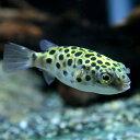(熱帯魚)ミドリフグ(約2-4cm)<5匹>【水槽/熱帯魚/観賞魚/飼育】【生体】【通販/販売】【アクアリウム】