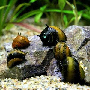 (貝)カラーサザエ石巻貝(約1cm)<3匹> 【水槽/熱帯魚/観賞魚/飼育】【生体】【通販/販…