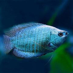 水槽 熱帯魚 ▼コバルトドワーフグラミー (約5cm)<1ペアー>