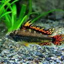水槽 熱帯魚 ▼アピスト カカトオイデス スーパーレッド (約4cm)<1ペアー>