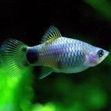 (スプリングセール)(熱帯魚 生体)ブルー ミッキーマウスプラティ(約3-3.5cm)(6匹)【水槽/熱帯魚/観賞魚/飼育】【生体】【通販/販売】【アクアリウム/あくありうむ】