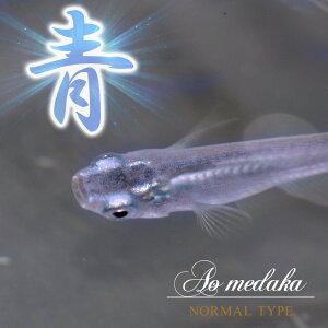 【熱帯魚】【水槽】【4999円以上で基本送料無料!】水槽 熱帯魚 ▼青メダカ (約2-3cm)<3匹>
