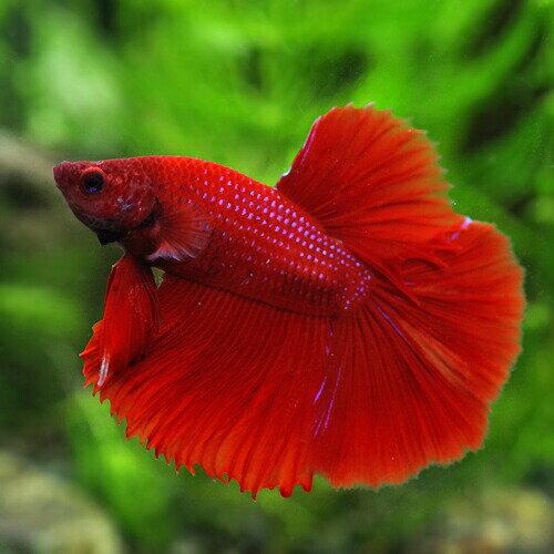 (熱帯魚)ベタスーパーデルタテールオス(色おまかせ)(約3-4cm)(1匹) 水槽/熱帯魚/観賞魚/飼育  生体  通販/販売