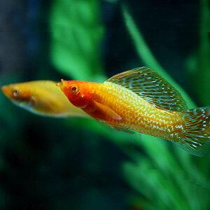 【熱帯魚】【水槽】【4999円以上で基本送料無料!】水槽 熱帯魚 ▼ゴールデンセルフィンモー...