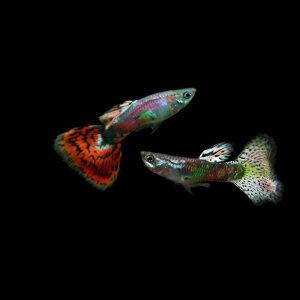 ミックスグッピー (外産) (約3cm)<5ペアー>【熱帯魚】