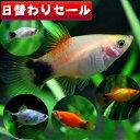 (熱帯魚 生体)( 日替わり限定)ミックスミッキーマウスプラティ(約3cm)<5匹>【水槽/熱帯魚/ ...