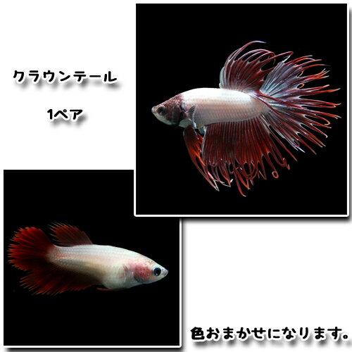 (熱帯魚生体)ベタクラウンテール(1ペア) 水槽/熱帯魚/観賞魚/飼育  生体  通販/販売  アクアリウム/あくありうむ