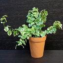 【ポイント5倍】フィカス・プミラ(斑入り)【観葉植物2号ロング】
