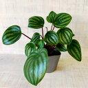 【週末限定クーポン&ポイントアップ!】ミニ 観葉植物 ペペロミア スイカペペ 3号 小さい かわいい