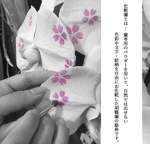 化粧蘭アップ-金魚