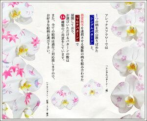 化粧蘭【大輪】3本立☆輪数:36輪以上(蕾含む)☆送料無料☆