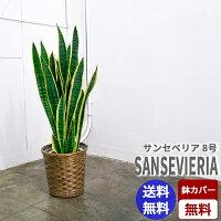 サンセベリア【8号鉢】