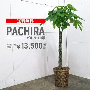パキラ【10号鉢】