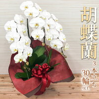 胡蝶蘭3本立〔白〕【スタンダード】01