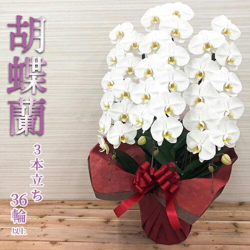 (当店オススメ) 胡蝶蘭 白大輪 3本立 36輪以上 (蕾含) お祝い フラワー ギフト コチョウラン 御供 ...