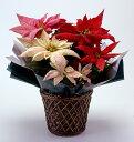 クリスマスの定番といえばポインセチア!そのポインセチアを今回はちょっと贅沢に3色(赤・白・...