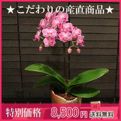 椎名洋ラン園さんのミディコチョウラン信楽焼(現在2色から選べます!)・ピンク・イエロー>>ネ...