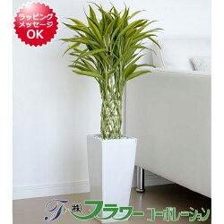 万年竹スクエア陶器鉢植え