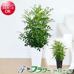 シルクジャスミン 陶器鉢植え 7号