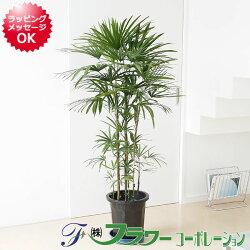 棕櫚竹(シュロチク) 10号