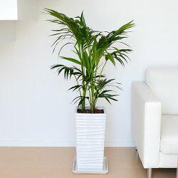ケンチャヤシ 陶器鉢植え 8号