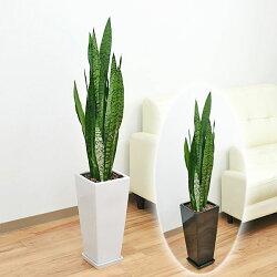 観葉植物 サンスベリア・ゼラニカ ロングスクエア陶器鉢植え 7号
